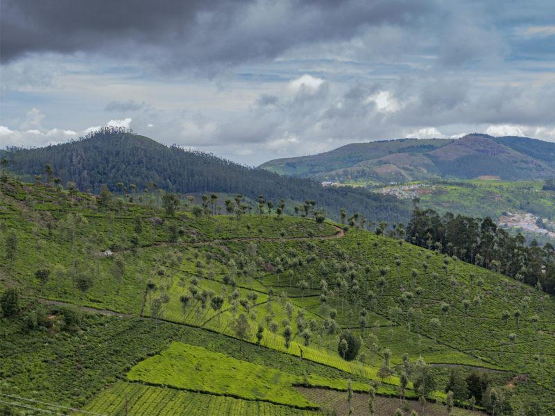 Ooty Tea Estates